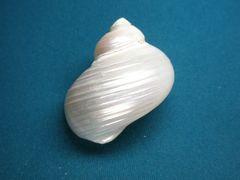貝の標本(現生)マルサザエ 52mm