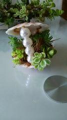 貝殻に多肉植物摘めちゃいました。