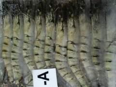 エビフライに ブラックタイガー有頭 30尾 1.3k 生冷凍